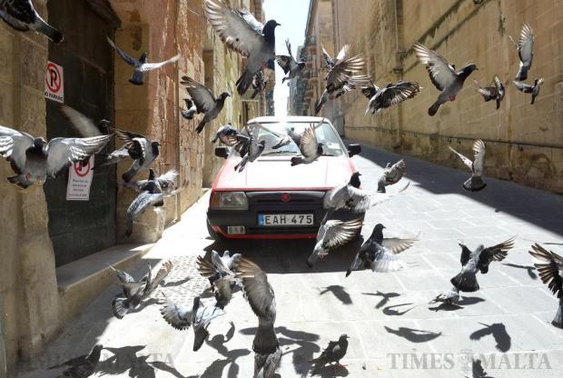 Pigeons take to the sky in Melita Street in Valletta on August 14. Photo: Matthew Mirabelli