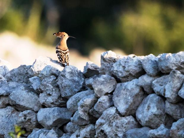 Hoopoes like to use rubble walls as perches. Photo: Bernard Farrugia