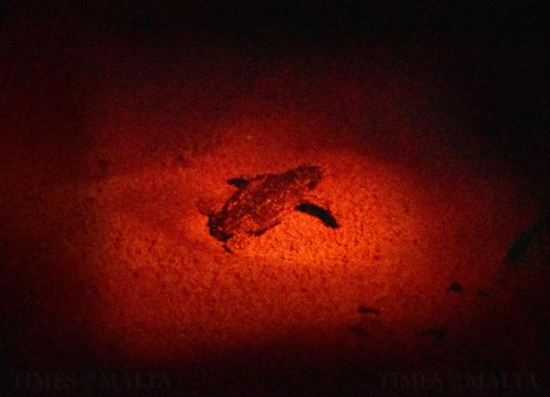 Some 66 turtle hatchlings emerged from a nest on the beach of Golden Bay in Ghajn Tuffieha, making their way to the sea in the early hours of September 27. Photo: Mark Zammit Cordina