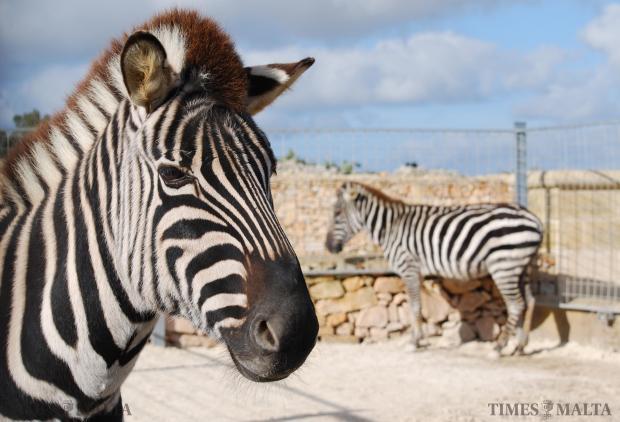 A zebra stares at the camera at a zoo in Siggiewi. Photo: Mark Zammit Cordina