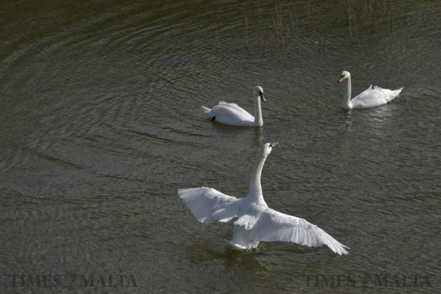 A swan Flaps its wings in a reservoir in Marsalforn Valley Gozo on January 11. Photo: Mark Zammit Cordina
