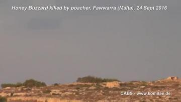 Protected honey buzzard gunned down – 50 illegal bird callers found