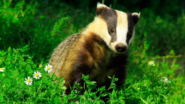 Like humans, badgers lose weight and become frail as they grow old.
