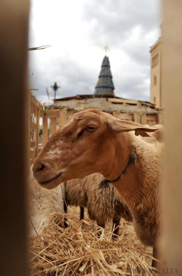 A goat in its pen at the Christmas village in Birzebbugia on December 3. Photo: Chris Sant Fournier