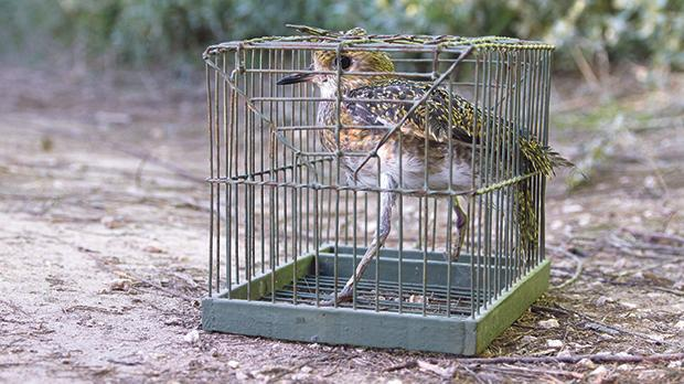 A trapped Golden Plover in a cage. Photo: Steven Williams