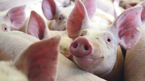 Foreign pork is far cheaper to produce than it is in Malta.