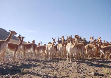 Watch: Peru's golden fleece (ARTE)