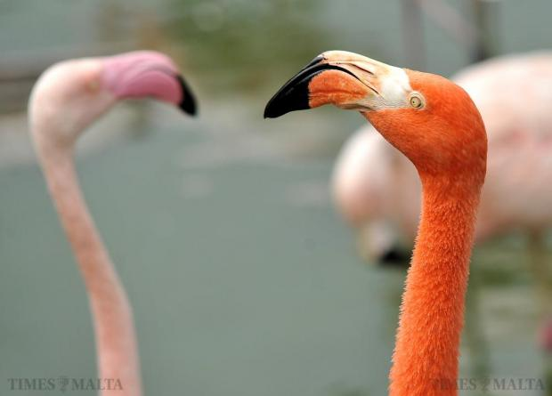 Pink flamingos are seen at the Bird Park in Salina on October 27. Photo: Chris Sant Fournier