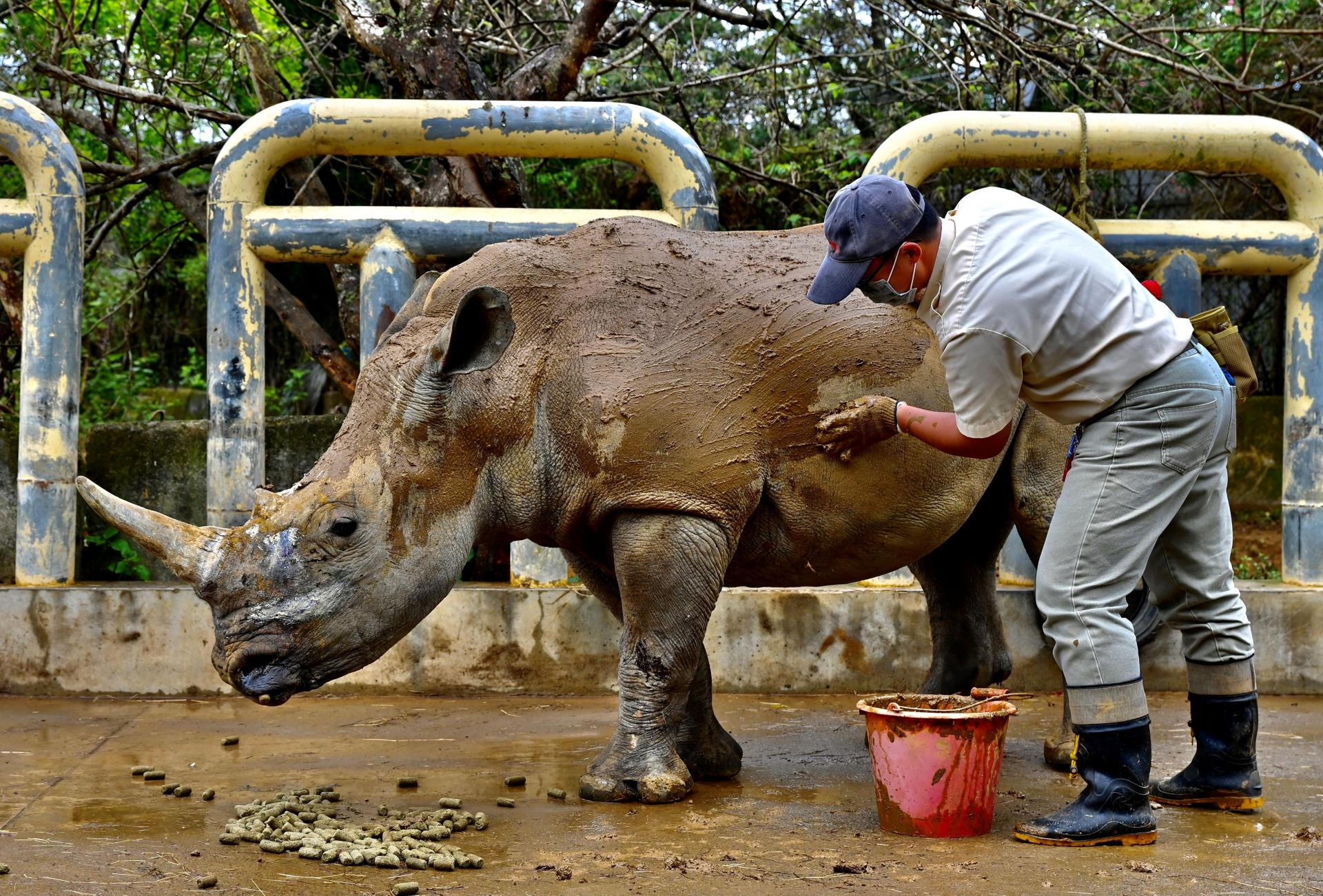 A staff member from Taiwan Hsinchu's Leofoo Village Zoo cleans Emma. Photo: Sam Yeh / AFP