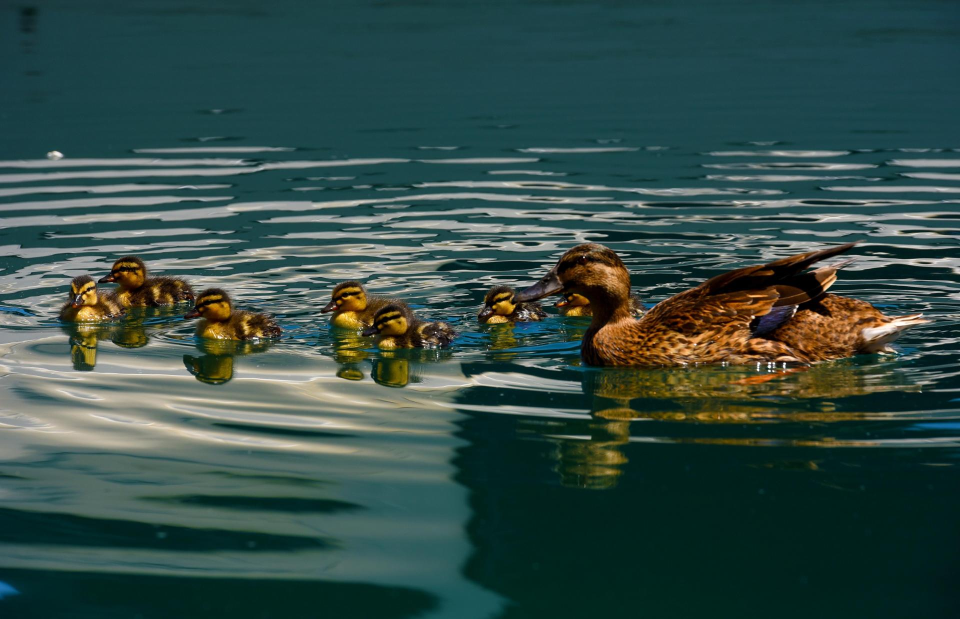 Ducks in Salina. Wildlife is thriving as pollution has declined. Photo: Chris Sant Fournier