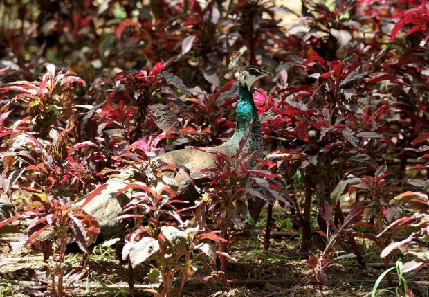 A peacock hides amongst the plants at San Anton Gardens on July 6. Photo: Chris Sant Fournier