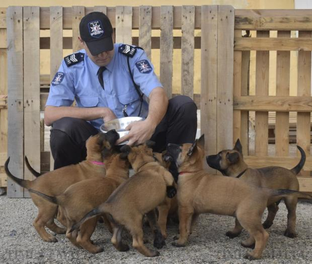 Police sergeant Christopher Formosa feeds the new police Belgian shepherd puppies at the Police Dogs Section headquarters in Mosta on March 16. Seven puppies born seven weeks ago to two of the unit's established police dogs, are currently undergoing early training on their way to a career in the force. Photo: Mark Zammit Cordina
