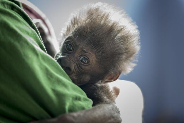 Undated handout photo issued by Bristol Zoo Gardens of baby western lowland gorilla Afia when she was four weeks old.