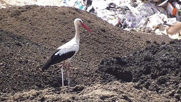 The last stork standing. Photo: Birdlife Malta