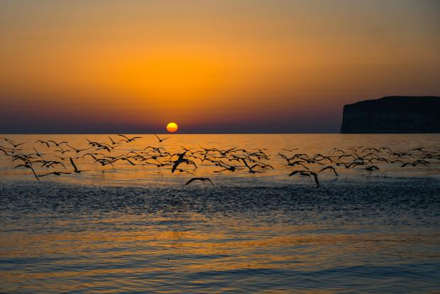 A flock of Scopoli's shearwaters fly over the water's surface, just outside Ta' Ċenċ in Gozo, as they return to their nests in the cliffs before sunset on July 11. Photo : Jonathan borg