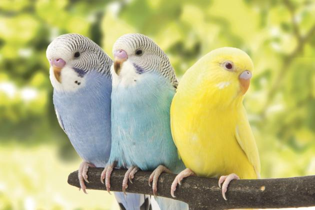 Vittoriosa budgerigar tradition for feast may be banned