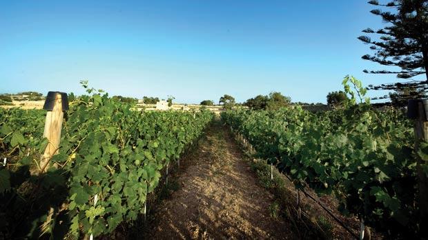 The vines at San Niklaw Estate.