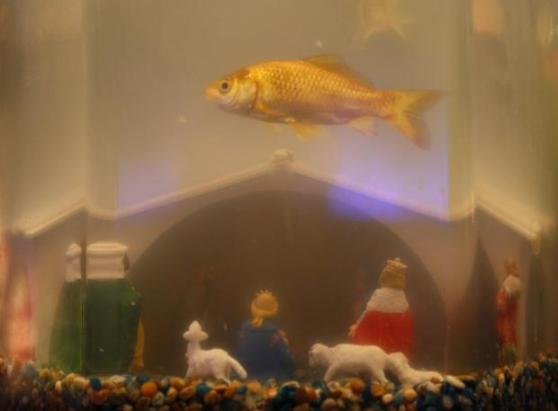 A goldfish swims in an aquarium that doubles as a Christmas crib, one of over 90 unconventional cribs depicting the Nativity scene being exhibited by the Ghadqa Wirjiet San Guzepp Haddiem in Birkirkara, on December 8. Photo: Darrin Zammit Lupi