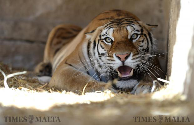 The mother of five tiger cubs shows her teeth protecting her litter at L-Arka ta' Noe in Siggiewi on June 8. Photo: Matthew Mirabelli