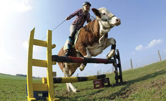 Regina Mayer seen in different photo angle shots with her cow Luna jumping over a hurdle in Laufen, southern Germany. Photos: PA Wire