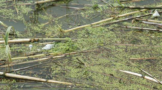 Filthy: A huge number of plastic bottles, tin cans, fallen trees and overgrown reeds have turned the unique ecosystem of Chadwick Lakes into an unsightly area.