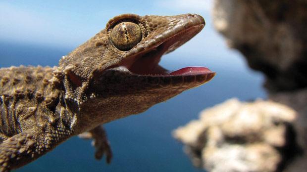 The Moorish gecko. Photo: Arnold Sciberras