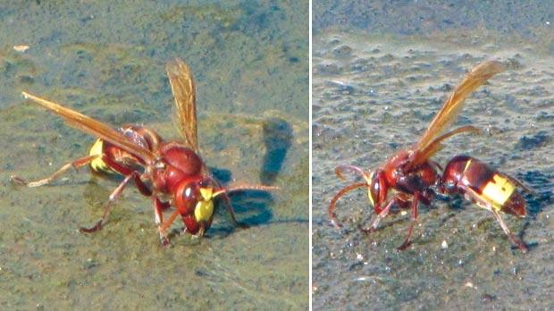 The front and back of the Oriental Hornet. Photos: Arnold Sciberras