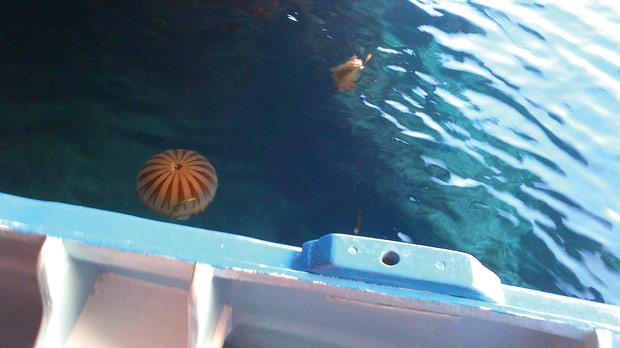 The compass jellyfish has again been spotted in local waters – this time at Żurrieq.