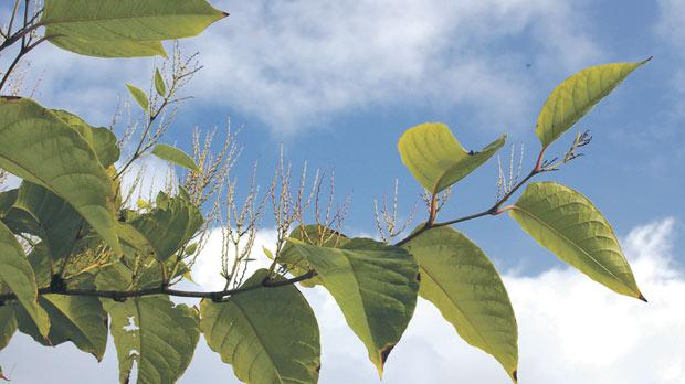 The Japanese knotweed has fast-growing roots that have destabilised buildings in North America and Europe.