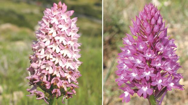 The Maltese pyramidal orchid (left) and the common pyramidal orchid. Photos: Stephen Mifsud