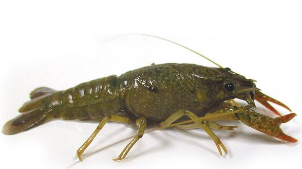 The crayfish is a threat to local species found in the freshwater environment.