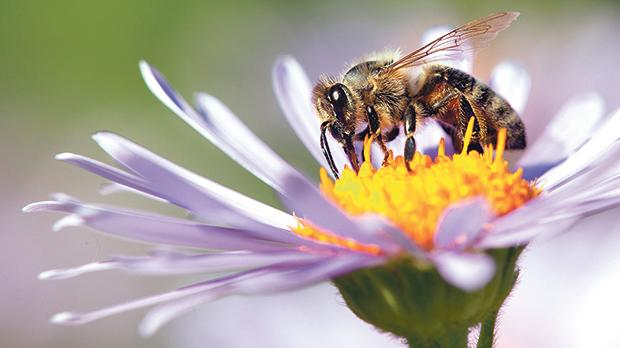 Bees play a vital role in global ecosystems, including Malta's.