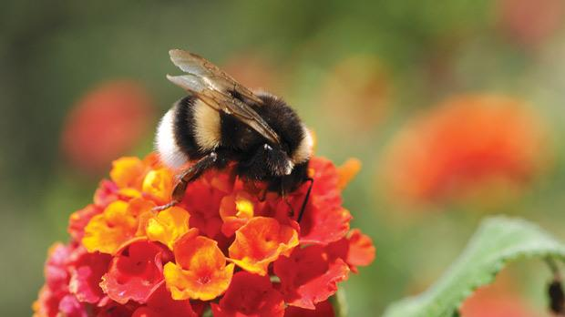 The Bumble Bees Role As Pollinator