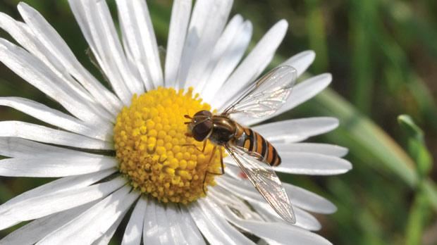 Adult hoverflies feed on nectar and pollen.