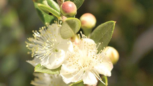 the myrtle tree  a symbol of love and immortality, Natural flower
