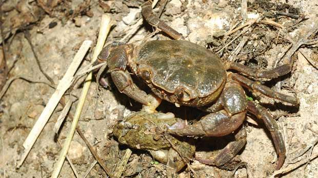 The rare, protected freshwater crab endemic to the Maltese islands and known as qabru.