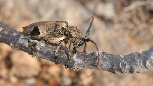 The mulberry long-horned beetle can reach more than four centimetres in length.