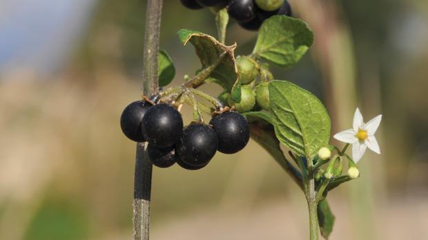 The black nightshade.