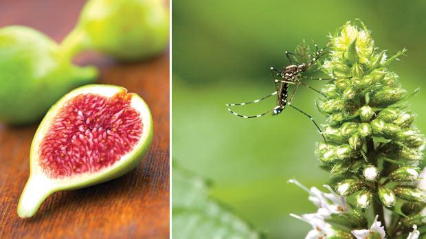 Figs are popular in Malta with sales of well over 100,000 kilos of early green figs. Right: It remains to be seen whether the Asian tiger mosquito will take over completely from the smaller brown house mosquito.