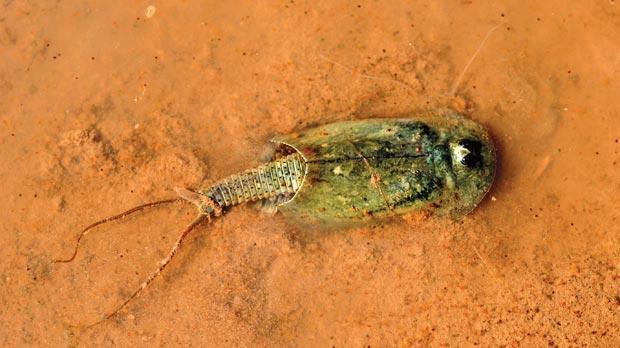 The Tadpole Shrimp