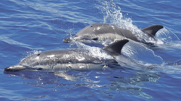 Common dolphins in Maltese waters. Photo: Adriana Vella