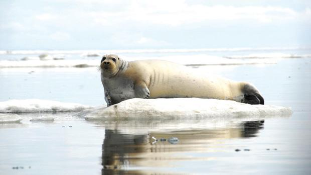 A bearded seal resting on ice off the coast of Alaska. The seal is one of the victims of disappearing sea ice and dwindling snowpack in the Arctic habitat. Photo: Reuters