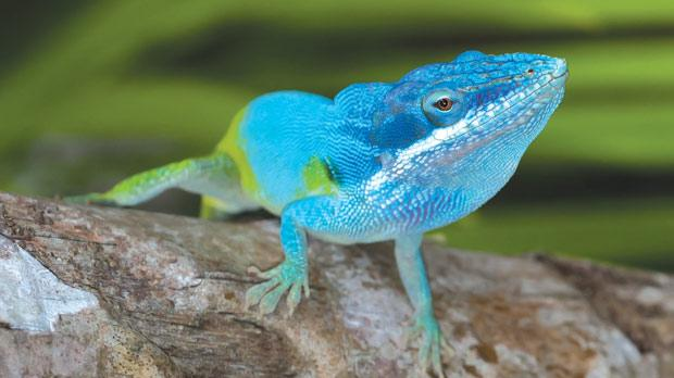 The Anolis lizard faces a high risk of extinction in Haiti because of widespread deforestation on the island.