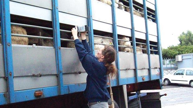 An animal welfare activist filming sheep packed in a truck trailer.