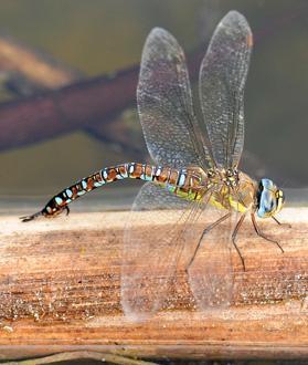 Window on dragonflies