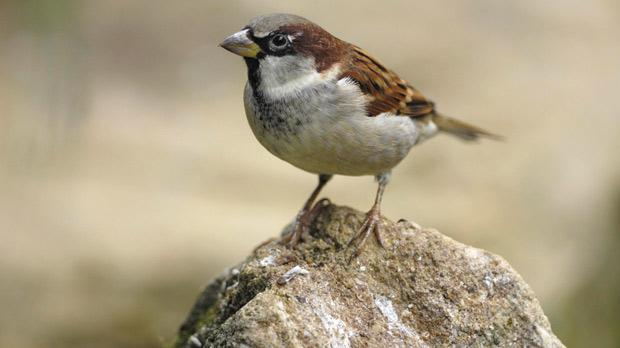 Since 1966, the population of the house sparrow has halved from 20 million to 10 million. Photo: PA