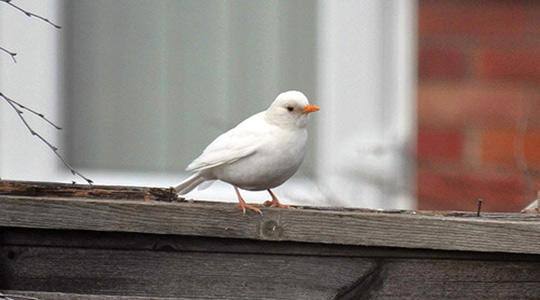 A rare white blackbird that was spotted by an amateur birdwatcher in her back garden in Deeping St James, near Peterborough, Cambridgeshire. Photo: Fiona Crofts/PA.