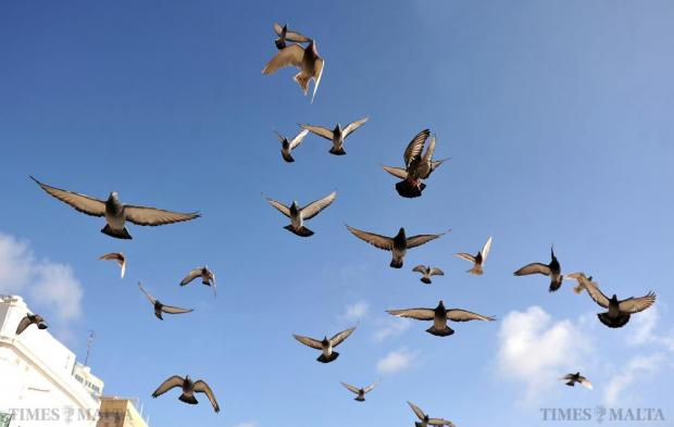 Pigeons fly overhead at the Upper Barrakka Garden in Valletta on February 1. Photo: Chris Sant Fournier