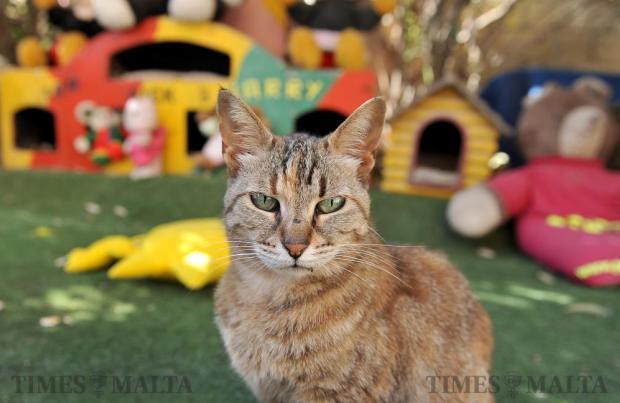 A cat sits at the cat village St Julian's on June 2. Photo: Chris Sant Fournier