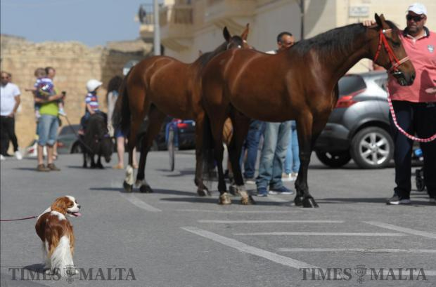 A small dog is dwarfed by two horses during the blessing of animals in Gharghur on May 7. Photo: Matthew Mirabelli